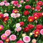 Sementes De Bonina Rapazinho Sortida Belíssima Flor P/ Mudas