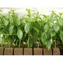 Stevia Adoçante Natural Ervas Sementes Flor Pra Mudas