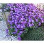 Violeta Rainha Africana 20 Sementes Bonsai Plantas Flores