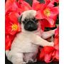 Cachorros Pug De Exhibición Listos Para Cpr