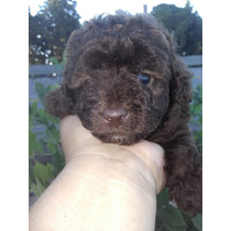 Ultimo Cachorro Caniche Mini Toy Macho Chocolate