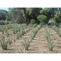 Aloe Vera Barbadensis Miller Organico