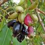 04 Mudas Grandes De Jambolão No Tubete - Arvore Frutifera