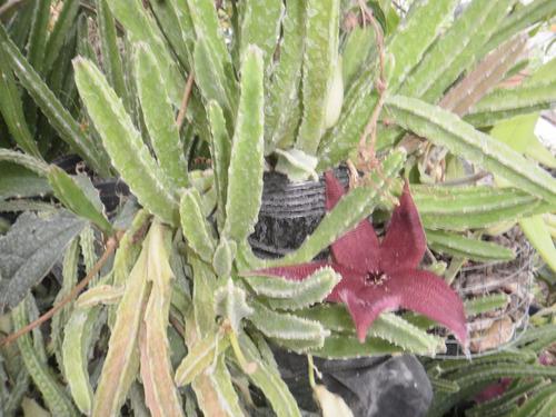 Planta cactus tuna suculenta colgante hermosa flor for Cactus cuidados exterior