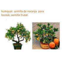20 Semillas De Naranja Para Bonsái, Semilla Frutal Kumquat