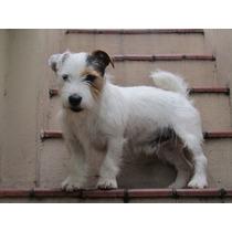 Jack Russell Terrier - Pirata - Para Monta - Fca