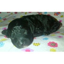 Lindas Cachorritas French Poodle Negro Azabache Minitoy