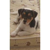 Cachorritos De Jack Rusell Terrier - Los Mas Lindos!