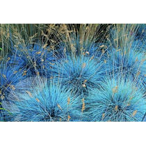 Sementes De Grama Azul Festuca Ovina Glauca Gramados Mudas
