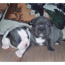 Bull Dog Frances Blue Hembra!!! Oportunidad!!!