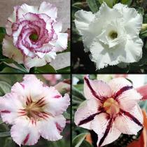 Sementes De Rosa Do Deserto Brancas Raras Lindas