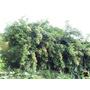 Ora-pro-nobis (pereskia Aculeata) - 05 Estacas,frete Grátis.