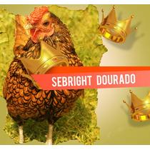 Ovos Galados Galinhas Exoticas Sebright Dourado
