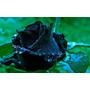 300 Sementes Rosa Negra, Jardim,vasos Frete Grátis!!