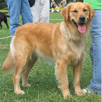 Golden!! Para Todas As Raças,adestramento De Cães 3 Dvds
