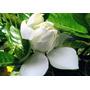Planta De Jazmín Del Cabo (gardenia)