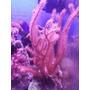 Frags De Coral Acuario Marino Reef
