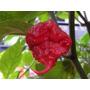 Sementes Da Pimenta Carolina Reaper Hp22b + Forte Do Mundo