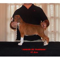 Cachorros Boxer Con Pedigree F.c.a.
