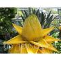 Semente Banana Lotus Musella Lasiocarpa Flores Belissimas