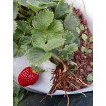 Plantas De Fresa Cantidad De 10 Envío Gratis
