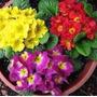 Sementes Da Flor Primula Elatior Sortida #iund