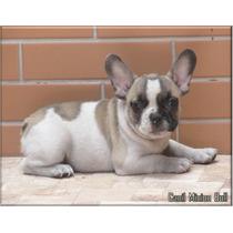 Bulldog Frances Macho Fulvo Pied,gen Choco E Gen Blue.