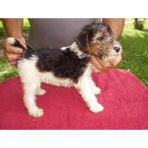 Cach Fox Terrier Wire Con Ped Fca!!! Hermosos!!