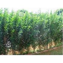 Planta Murta - Outras Plantas no Mercado Livre Brasil