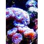 Corais Marinhos - Mudas Incríveis - Bixo
