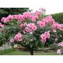 Rosa Pink Rose Sementes Flor Para Mudas