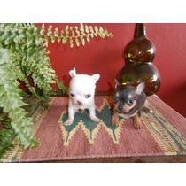 Chihuahuas Mini Mini Hembras Fca (cachorros_increibles)