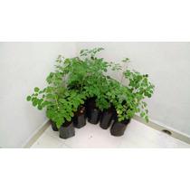 Moringa Oleifera Planta