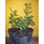 Arbol Manzano Plantin. Vivero Arbon Hermano. Jardin / Bonsai