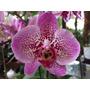 Kit C/ 10 Mudas De Orquideas Phalaenopsis Varias Cores
