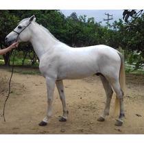 Cavalo Mangalarga Marchador Tordilho - Macho - Marcha Batida