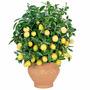 Semillas Limón Enano