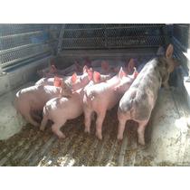 Venta De Cerdas De Cria, Lechones, Cerdos Sementales