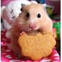 Hamster Dorado Sirio Roedor Hermosa Mascota Pequeños + Info