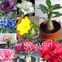 5 Rosas Del Desierto De 10 Cm. Colores Surtidos