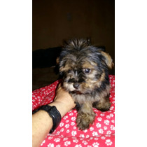 Yorkshire Terrier Mini Pelo Seda