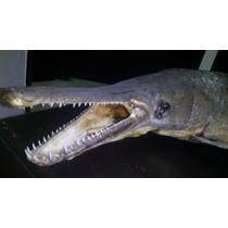 Imponente Pejelagarto Disecado (taxidermia) 90 Cm