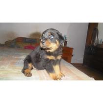 En Venta Machitos Rottweiler Con Papeles De Fca