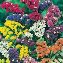 Statice Sinuata 20 Semillas Flor Jardin Planta Nmp Sdqro