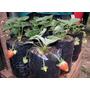 50 Plantines De Frutillas!!!!