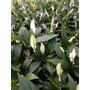 Spathiphyllum Mini, Planta De Interior