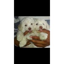 Filhotes De Poodle Machos Disponível