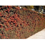 Plantas Para Cercos Verdes Grateus-crataegus De 70 O 80cm