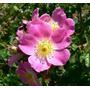 Rosa Mosqueta Aceite X 250 Cm3 Premium Envio Gratis Capital