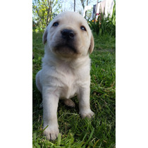 Cachorros Labradores Machos Y Hembras. Excelentes Mascotas!